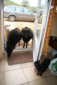 sheep at our dordogne gites