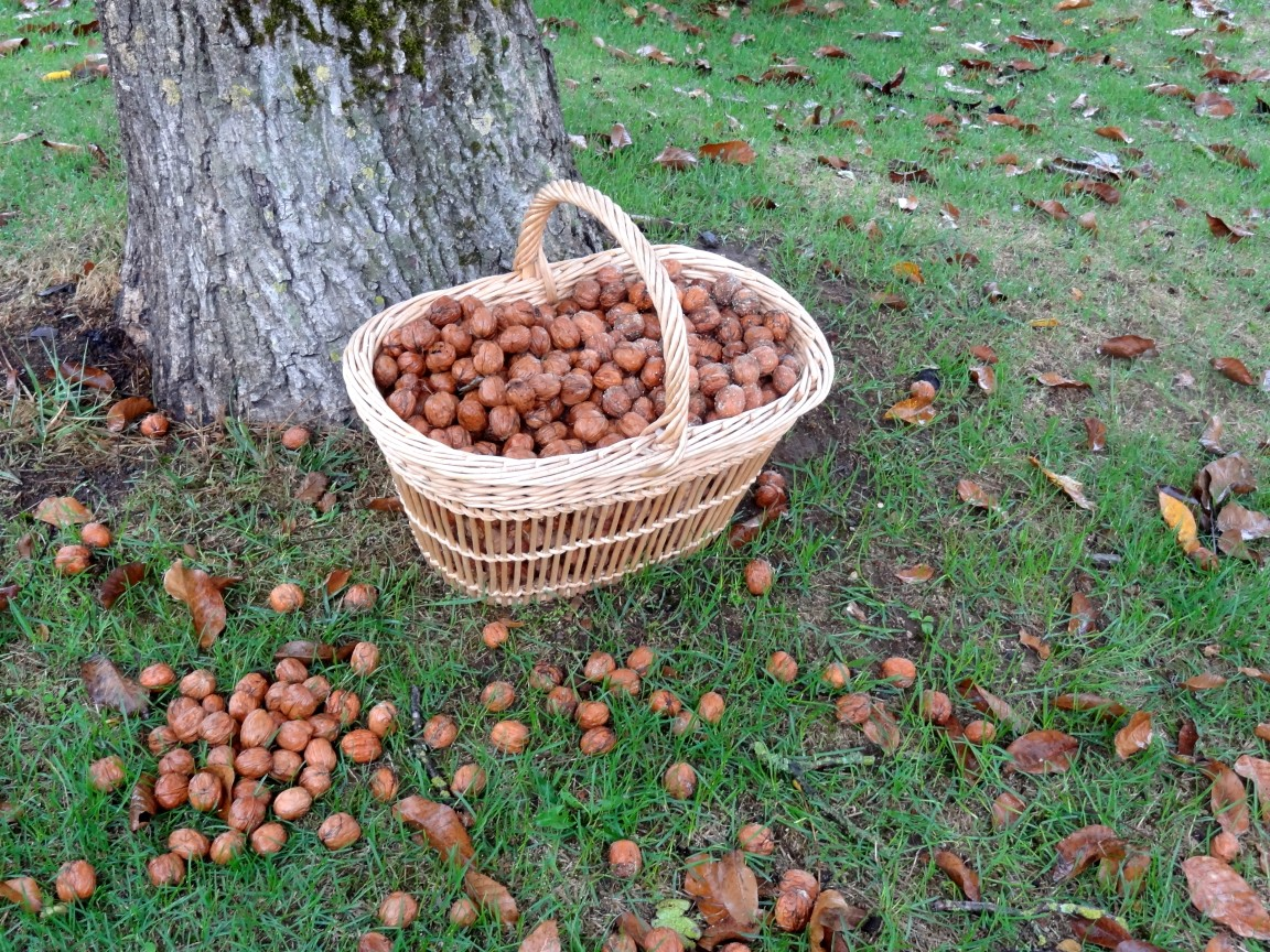 collecting walnuts at our Dordogne Holiday Cottages